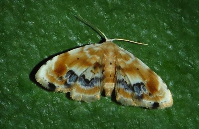 Noctuidae : Acontiinae : Holocryptis phasianura LUCAS, 1892. Umina Beach (N. S. W.), 26 dcembre 2011. Photo : Barbara Kedzierski