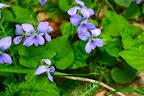 Common blue violet.