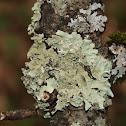 Salted Shield Lichen