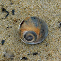 Atlantic Moon Snail
