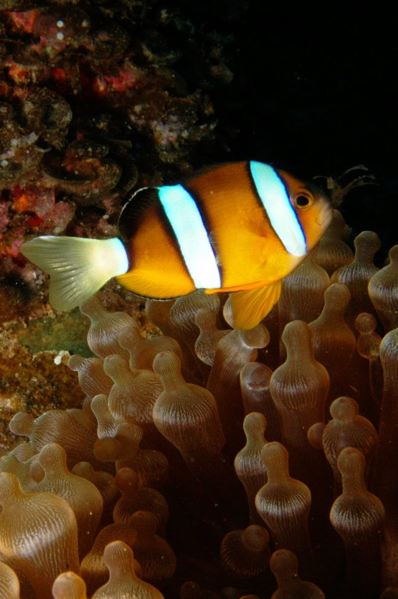 Amphiprion chrysopterus? Okinawa.