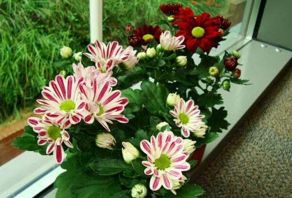 Bunga Krisan (Chrysanthemum) Tanaman Dalam Ruangan Anti Racun