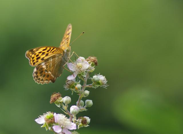 Argynnis paphia (L., 1758), femelle, sur ronce. Chemin de La Rodé, 680 m, Cocurès (Lozère), 8 août 2013. Photo : J.-M. Gayman