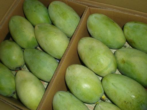 philippines%2520mangos - Green Mango - Philippine Photo Gallery