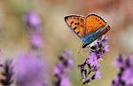 Violet ildfugl, alciphron gordius3.jpg
