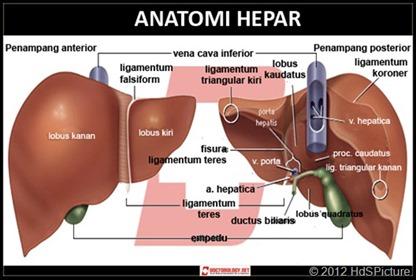 Anatomi hati manusia