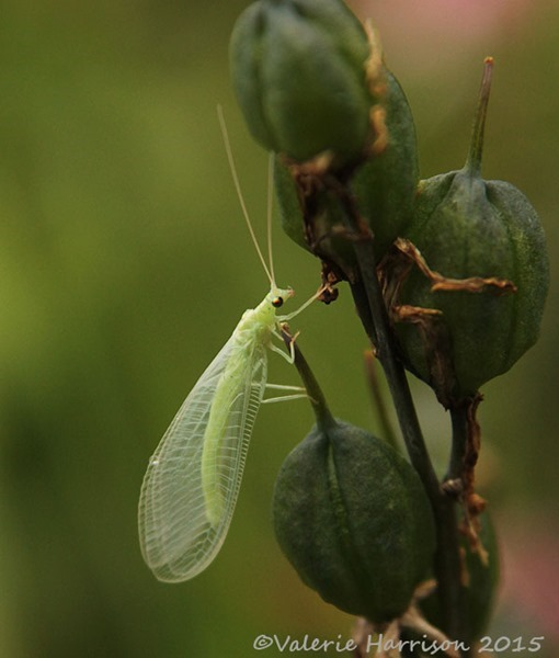 Lacewing-4