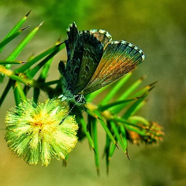 Paralucia spinifera E.D. EDWARDS & COMMON, 1978 (?). Pearl Beach (New South Wales, Australie), 27 septembre 2013. Photo : Barbara Kedzierski