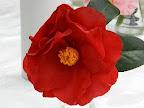 鮮朱紅色 八重咲き 中大輪