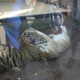 TIGERS Preservation Station - Myrtle Beach - 040510 - 21