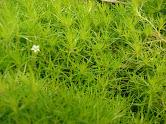 Sagina Scotch Moss