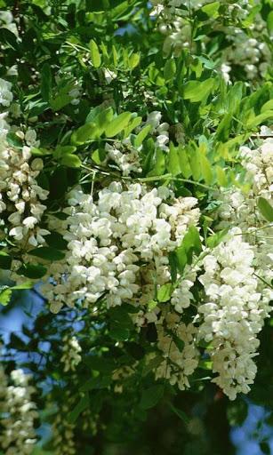 イナゴの花の壁紙