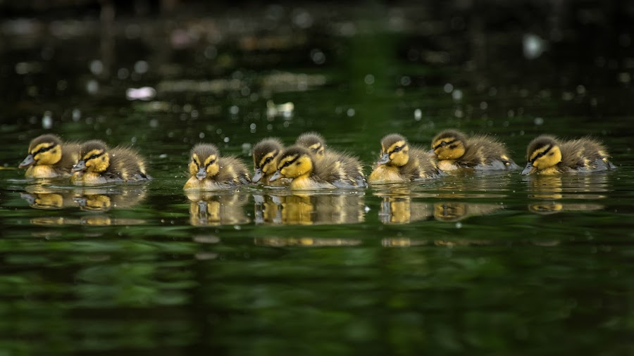 Little Chicks by Friedhelm Peters - Animals Birds ( water, chick, duck, baby, swimming )