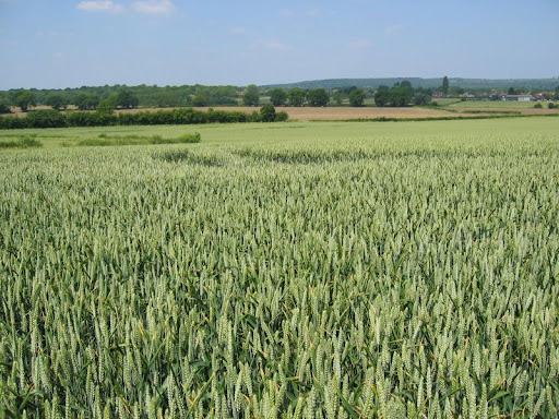 2 corn field