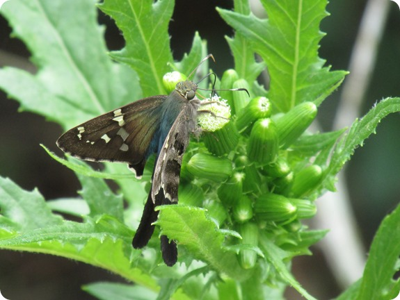 Long-tailed Skipper Urbanus proteus Butterfly (1)