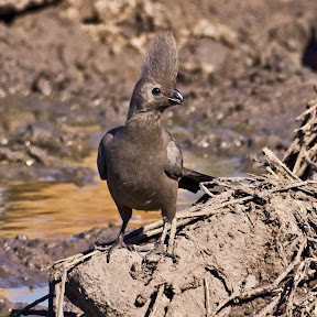 Grey Go-Away Bird (Lourie), South Africa