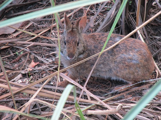 10 Marsh Rabbit Mammal Sylvilagus palustris