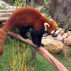 Red Panda in Ocean Park (Hong Kong)