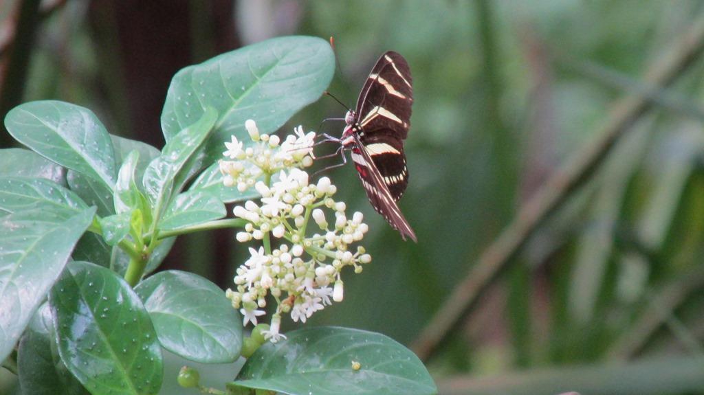 [Zebra+Longwing+Butterfly+Insect+%281%29%5B10%5D]