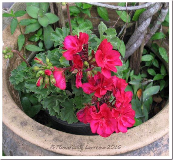 04-29-geranium