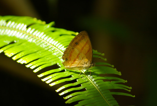 Mycalesis marginata MOORE, 1881. Crocker Range, à 40 km de Tambunan (Sabah, Malaisie, Bornéo), 19 août 2011. Photo : J.-M. Gayman