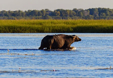 Young bull wades through a flood plain channel. Mature bulls show very little fear of crocodiles. However buffalo cows with young calves avoid water when possible.