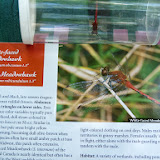 typical adult male meadowhawk dragonfly