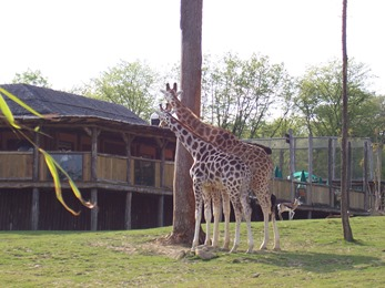 2005.05.18-023 girafes