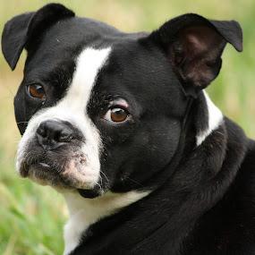 by Leslie Hendrickson - Animals - Dogs Portraits ( boxer, boxer dog, dog portrait, dog,  )