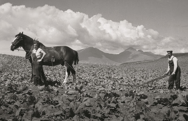 Grubbing cabbages by traditional farming methods in the early 1960s. Muck was well known for producing high quality cabbages. © Scottish Life Archive, licensor Scran. From Lost Heritage of Inner Hebrides uncovered in landmark new book