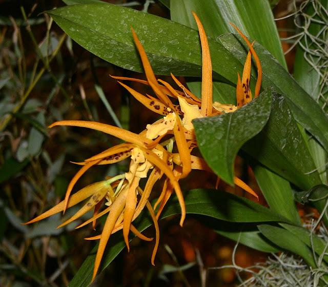 Растения из Тюмени. Краткий обзор Brassada_mivada