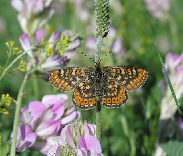 Euphydryas aurinia sibirica STAUDINGER, 1861, femelle. 12 km au SO d'Ongudai, Altaï, 7 juillet 2005. Photo : O. Kosterin