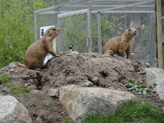 2016.07.31-033 chiens de prairie