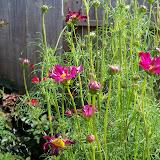 Gardening 2010, Part Three - 101_5017.JPG