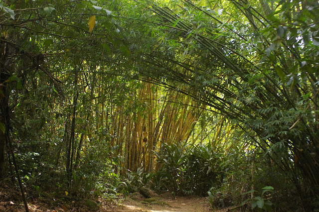 Bambous verts et bambous jaunes. Ilha Grande (RJ), 18 février 2011. Photo : J.-M. Gayman