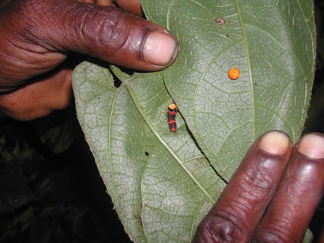 Oeuf et chenille (premier instar) d'O. priamus poseidon (?). Mokwam, Arfak, août 2007. Photo : Gilles Richard