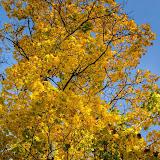 Желтая листва в небе