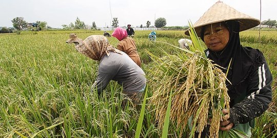 Diguyur Pembiayaan KUR, Kementan Berharap Produktivitas Pertanian di Wajo Meningkat