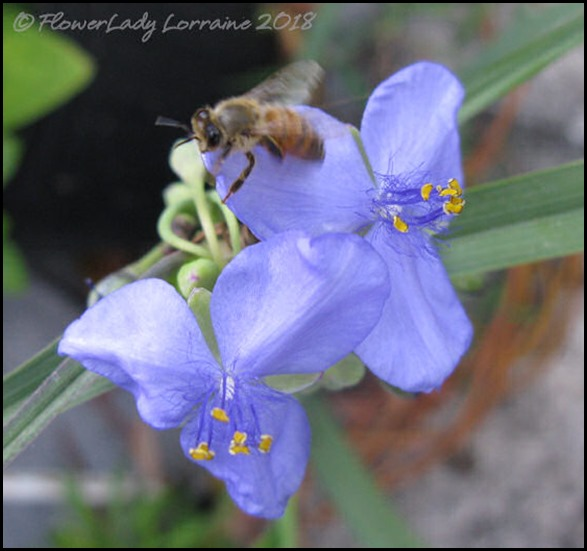 04-16-spiderwort-bee