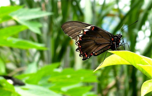 Battus polydamas (LINNAEUS, 1758). Colider (Mato Grosso, Brésil), mai 2011. Photo : Cidinha Rissi
