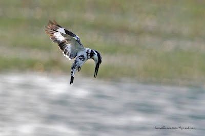 12-May-2012 Pied Kingfisher Pic: KamalHari Menon