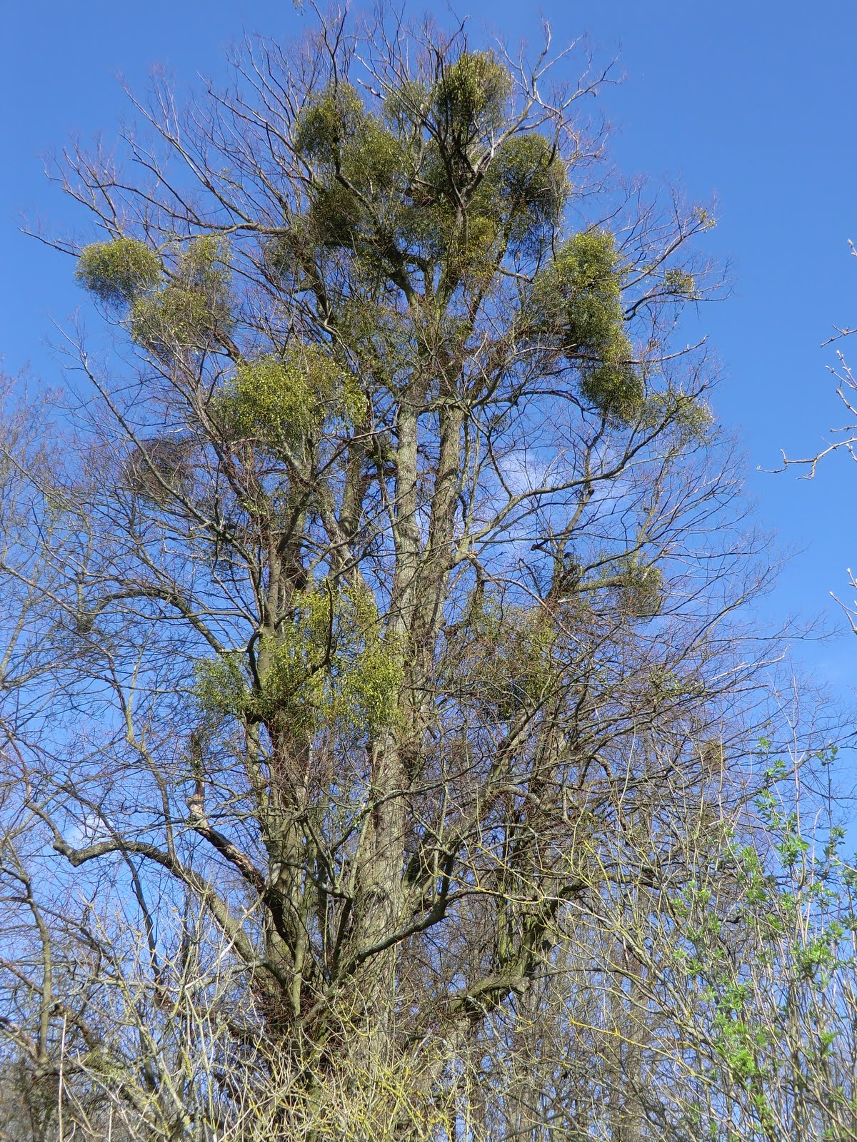 CIMG2547 Mistletoe, Godmersham Park