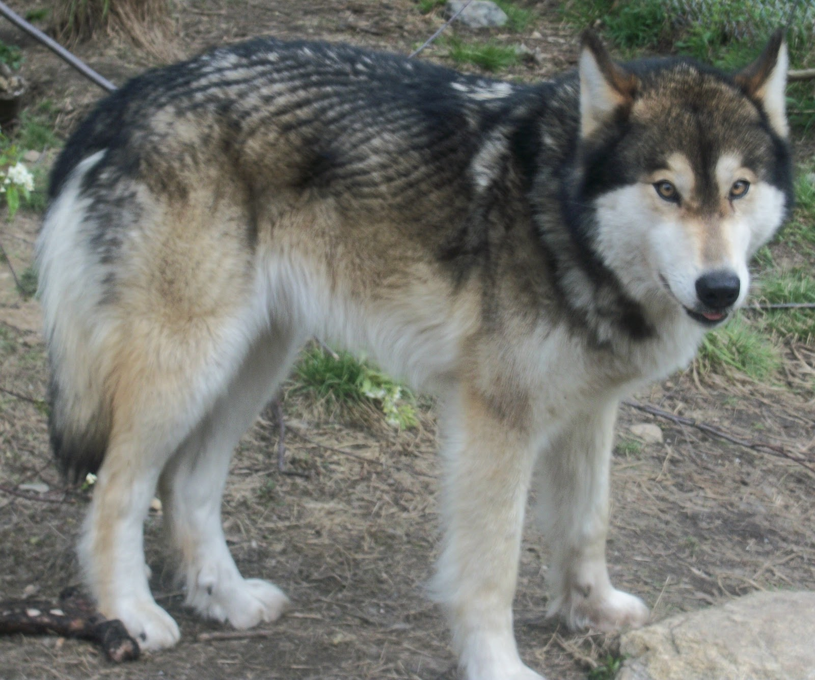 Pet Dog That Looks Like A Wolf