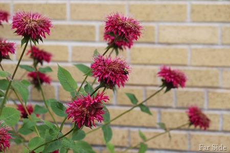 Bee balm at the hospital