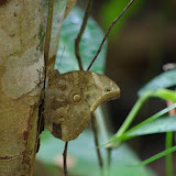 Catoblepia xanthus xanthus (LINNAEUS, 1758). Pointe Maripa (Riv. Comté), 9 novembre 2012. Photo : J.-M. Gayman