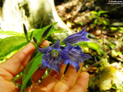 flori albastre de munte: gentiene