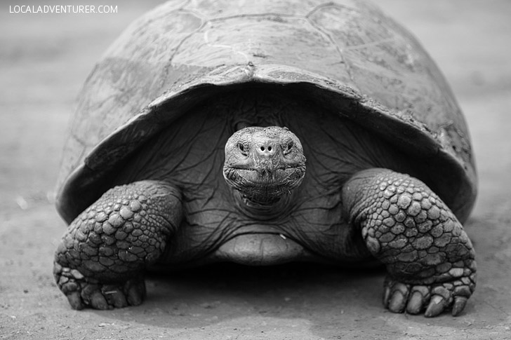 Meeting the 100 Year Old Tortoise at the Galapagos Tortoise Ranch.