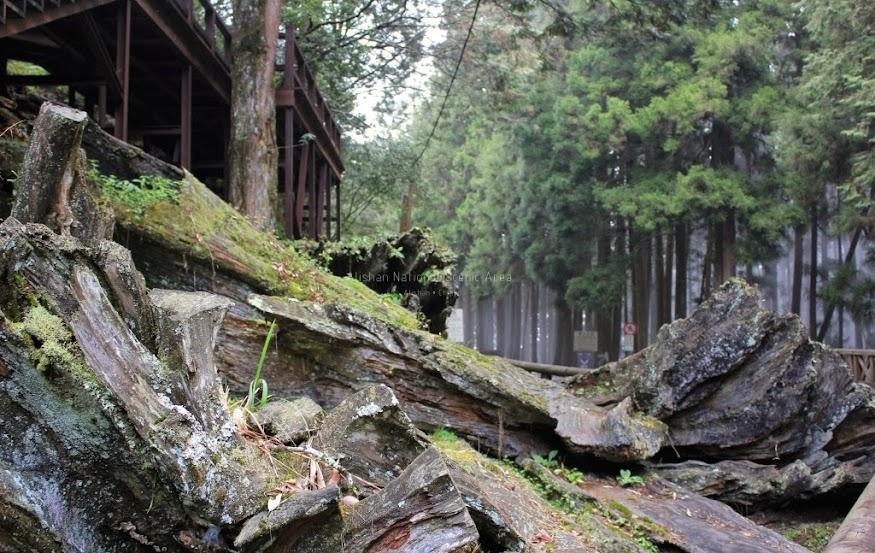 嘉義阿里山景點,巨木群棧道-8