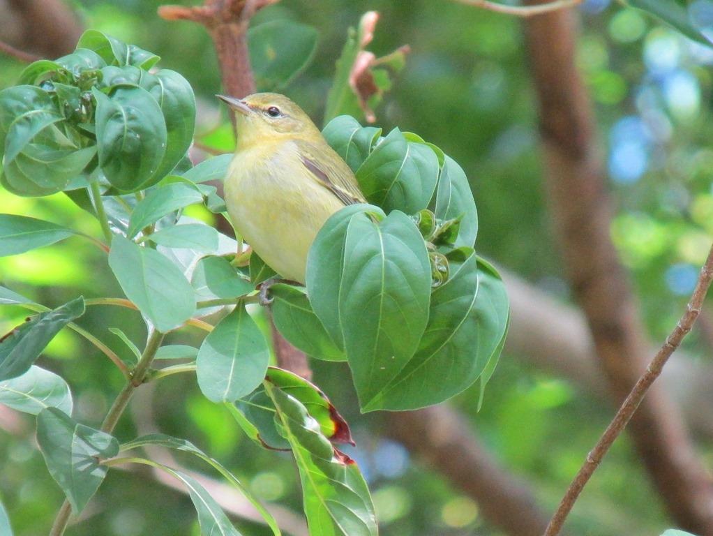 [Tennessee+Warbler+Bird+%288%29%5B7%5D]