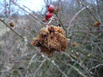 Robins-Pincushion-End-Of-Life-Gall-Wasp
